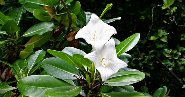 National Flower of Koror called the Rur